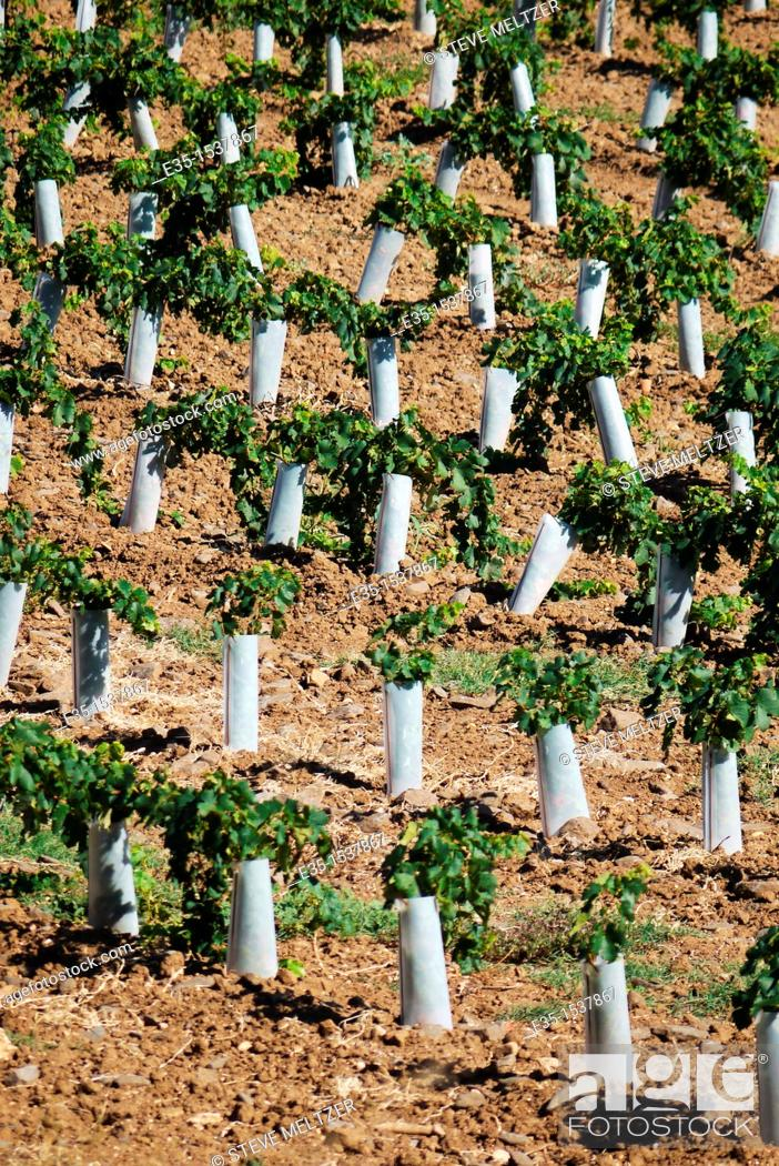 Stock Photo: Plastic protectors keep harmful insects and small animals from destroying newly planted, young grape vines.