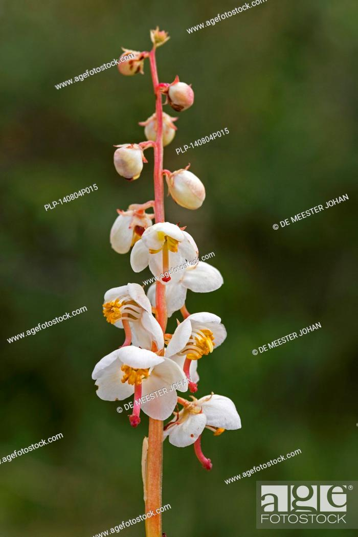 Stock Photo: Round-leaved wintergreen (Pyrola rotundifolia) in flower.