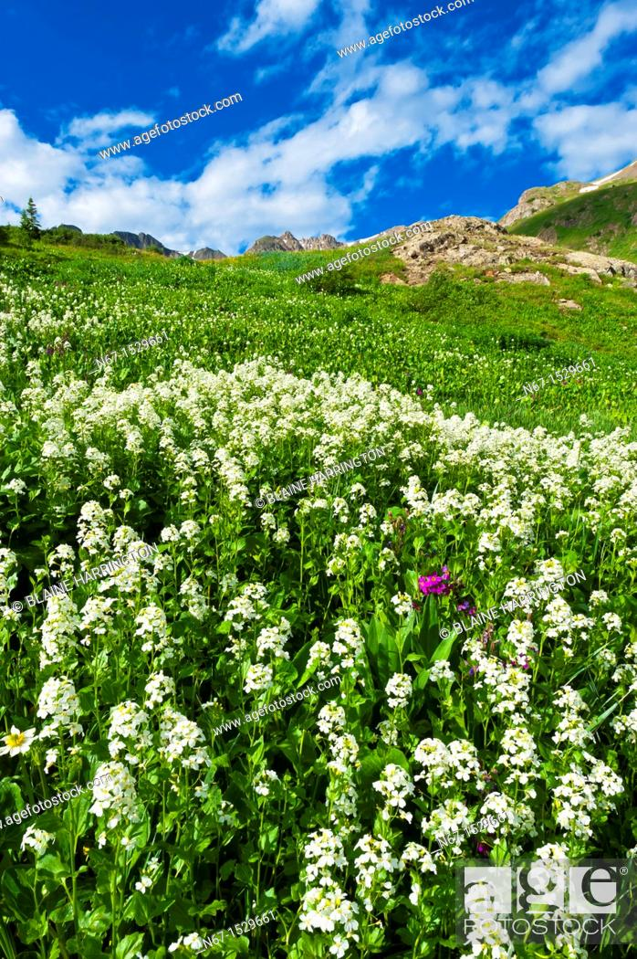 Stock Photo: Wildflowers, American Basin, San Juan Mountains range of the Rocky Mountains, Southwest Colorado USA.