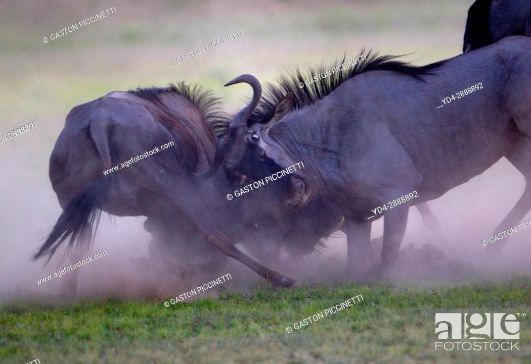 Stock Photo: Blue wildebeest (Connochaetes taurinus), fighting, Kgalagadi Transfrontier Park, Kalahari desert, South Africa/Botswana.
