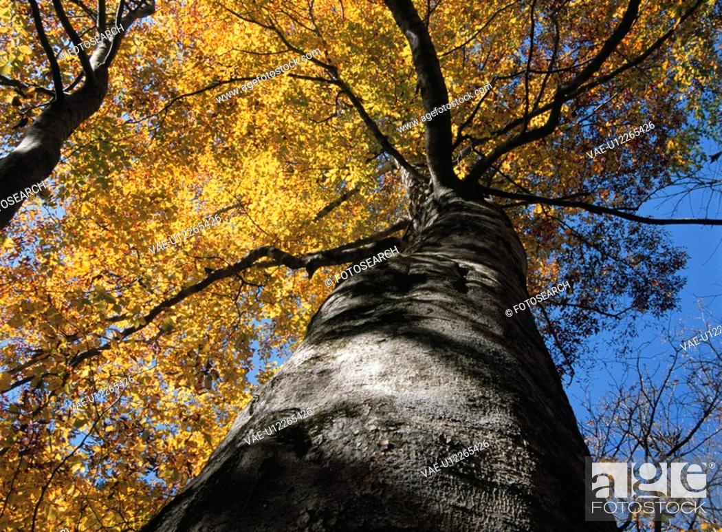 Stock Photo: The Beech Wood Turned Yellow.