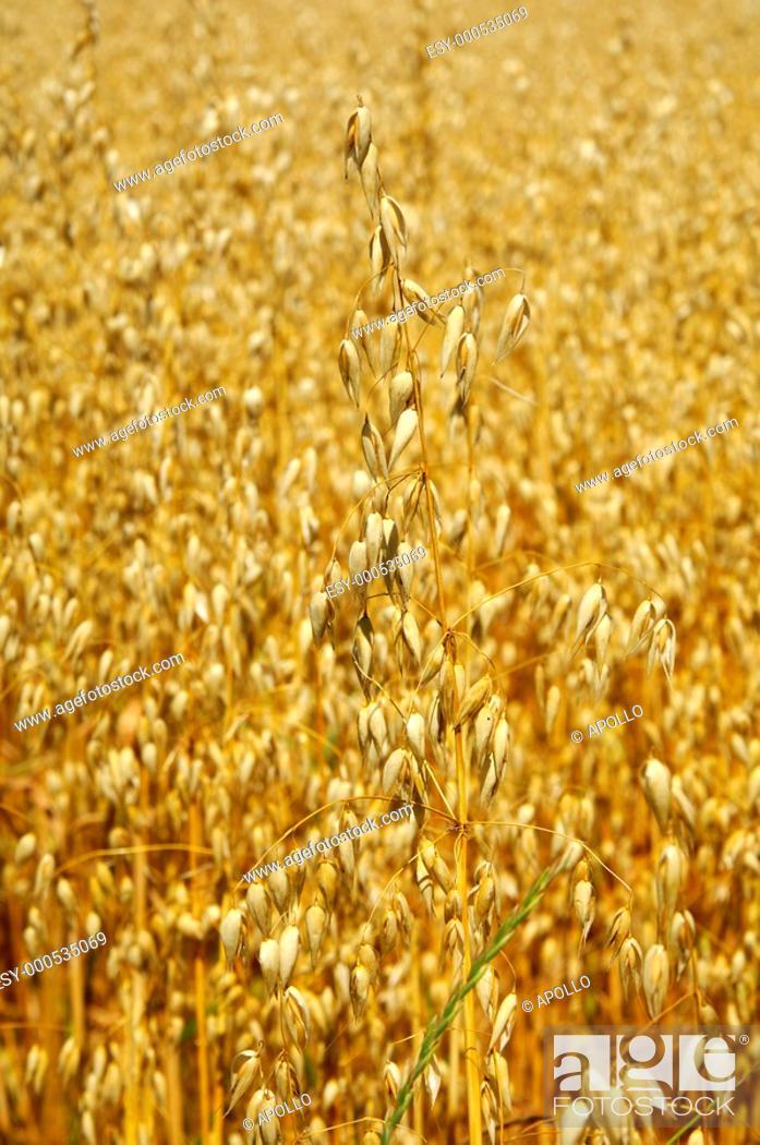 Stock Photo: Field with ripe oats Avena.