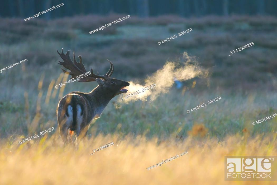 Stock Photo: Fallow Deer (Cervus dama) on misty morning at sunrise, Rutting season, Hesse, Germany, Europe.