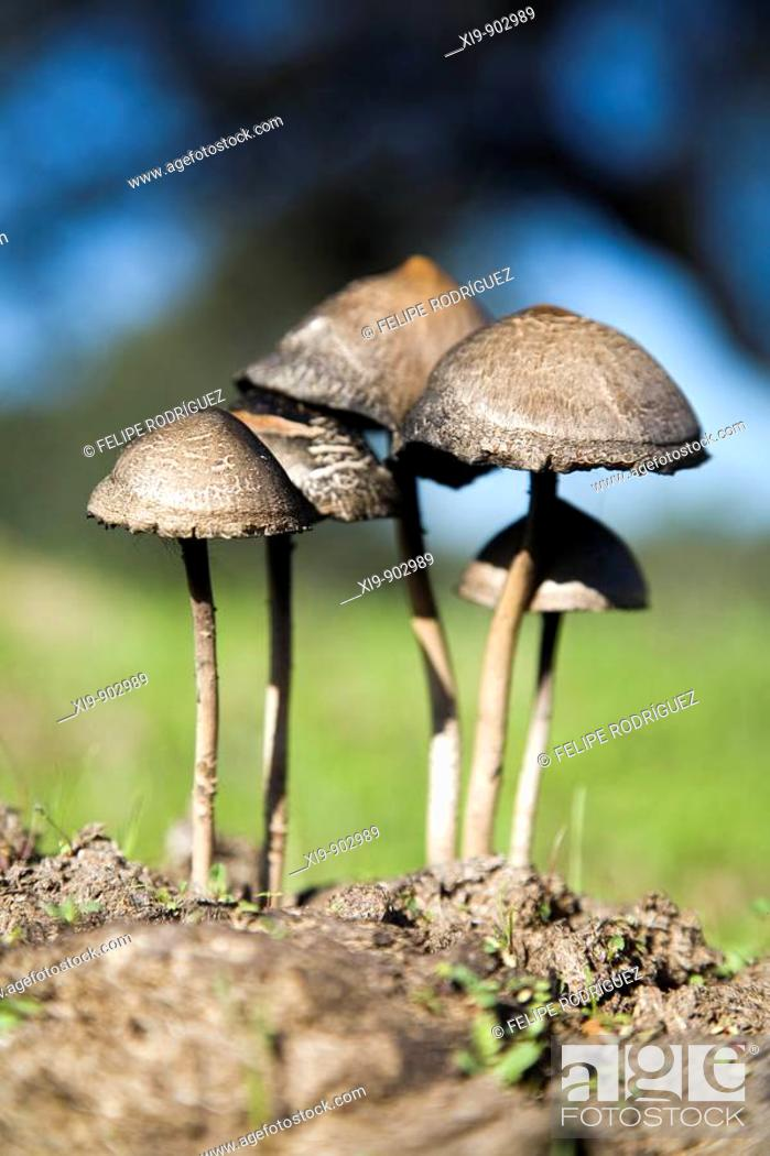 Stock Photo: Fungi on a dung, Sanlucar la Mayor, Seville province, Andalusia, Spain.
