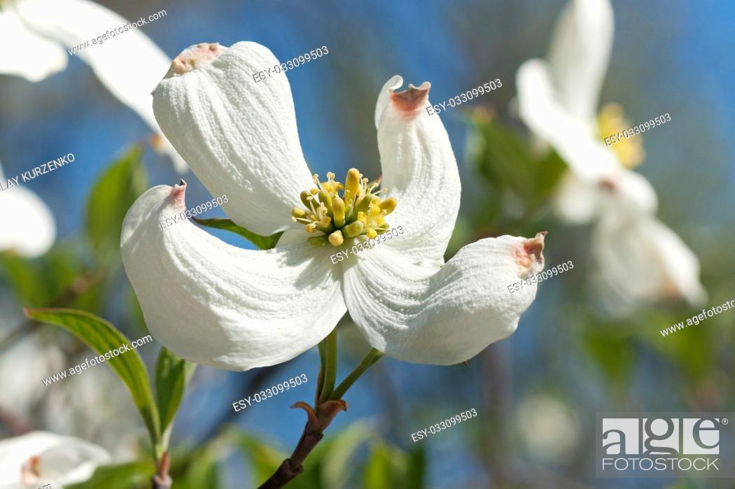 Imagen: Springtime flowering dogwood (Cornus florida Springtime).