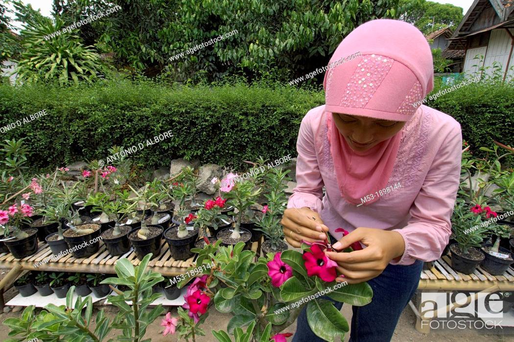 Stock Photo: an indonesian woman impollinate an adenium plant  kraton district  yogyakarta  indonesia.