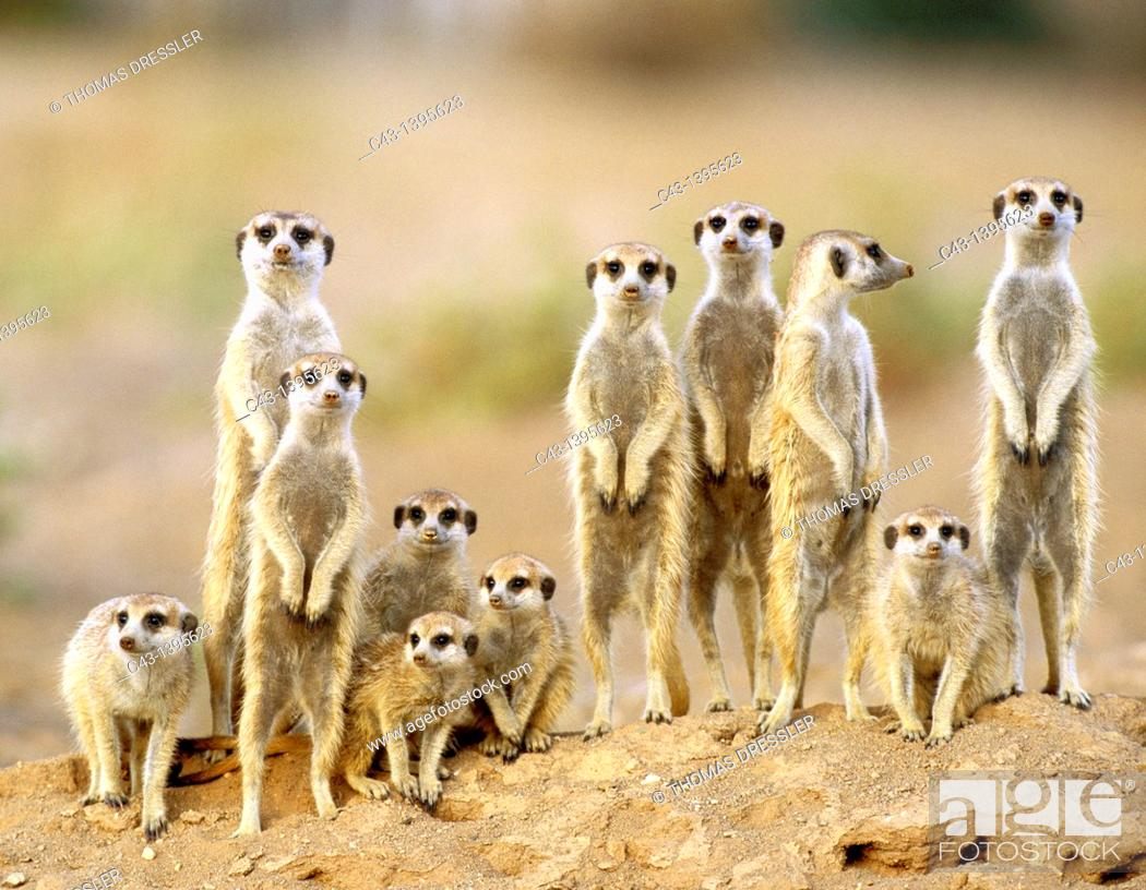 Imagen: Suricate Suricata suricatta - Adults with young on the lookout at the edge of their burrow  Kalahari Desert, Namibia.