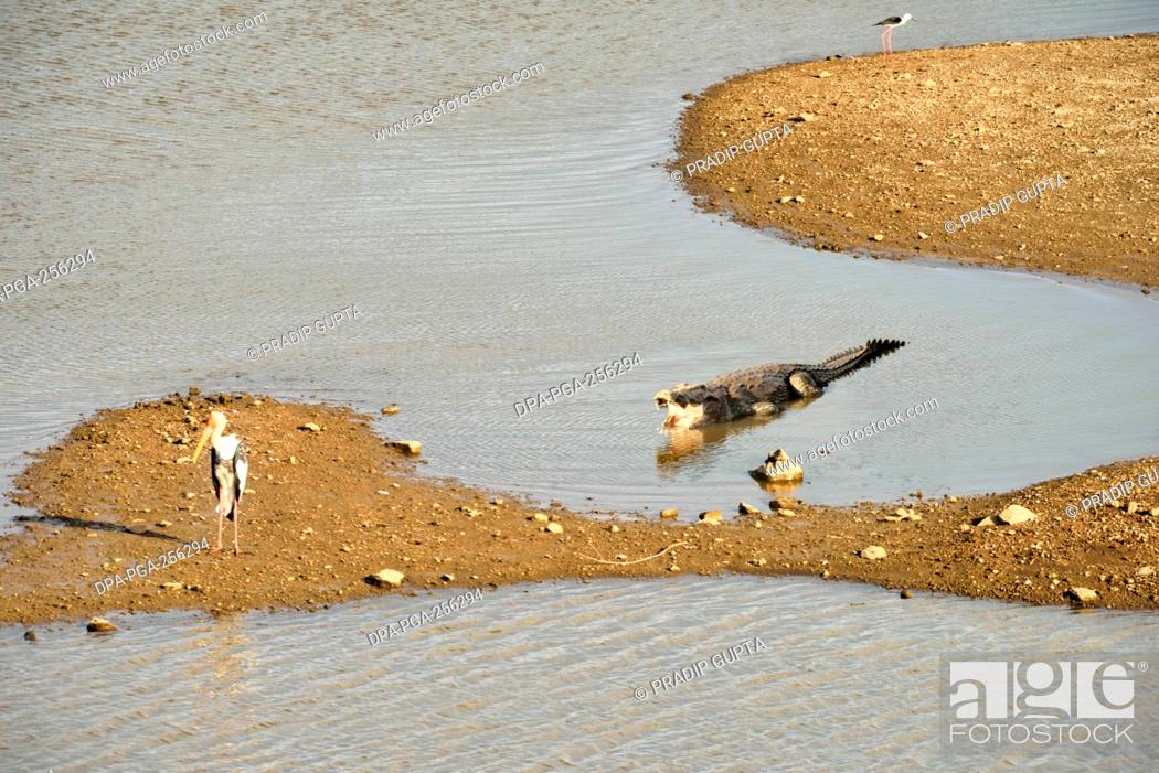 Imagen: Crocodile, gir national park, Gujarat, india, asia.