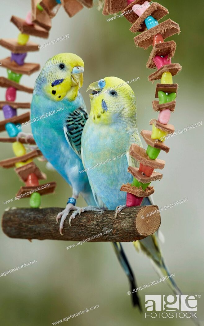Stock Photo: Rainbow Budgerigar, Budgie (Melopsittacus undulatus). Two adults perched on a multicolored toy swing. Germany.