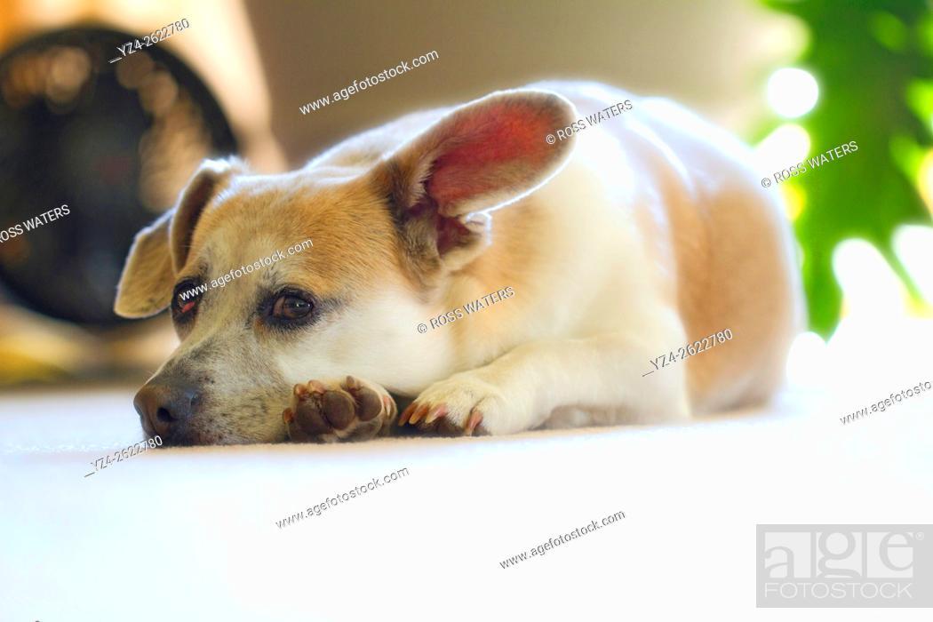 Stock Photo: Closeup of a corgi and beagle mixed breed dog.