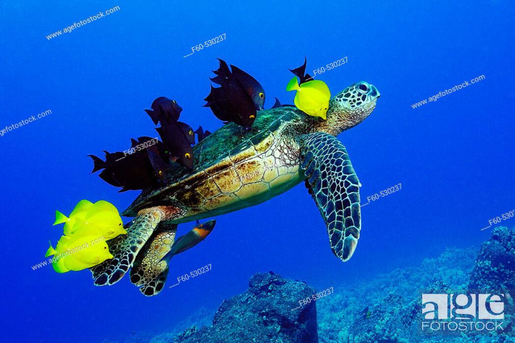 Stock Photo: Green sea turtle, Chelonia mydas, gets cleaned by yellow tangs, Zebrasoma flavescens and lined bristletooth, Ctenochaetus striatus, Kailua-Kona, Hawaii, (N.
