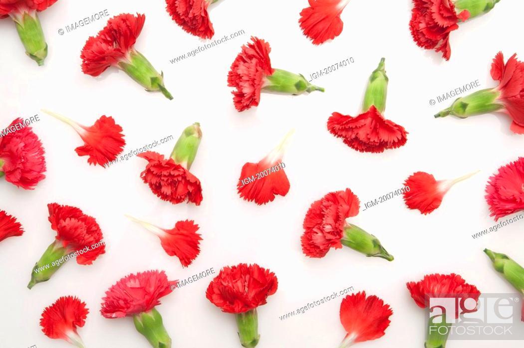 Stock Photo: Carnation.