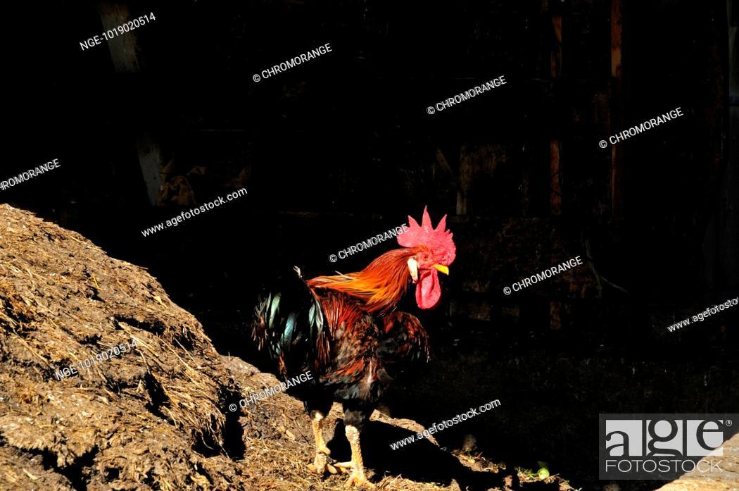 Imagen: rooster.