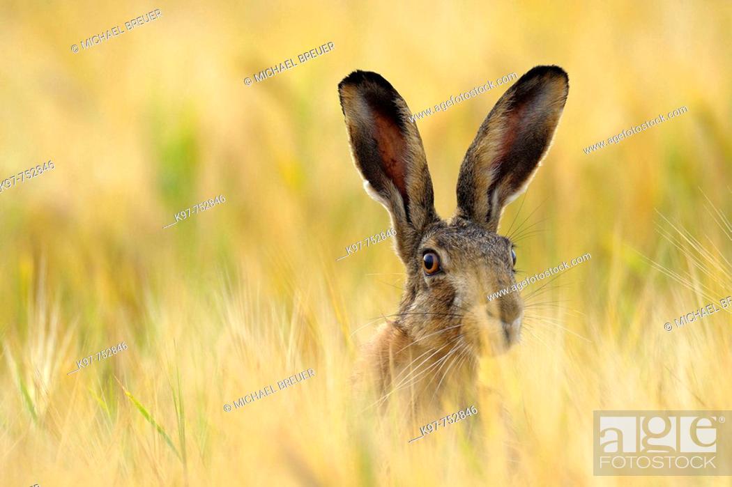 Stock Photo: European brown hare in a grain field, Lepus europaeus, June, Summer, Germany.