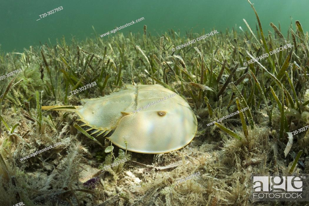 Stock Photo: Horseshoe Crab in Mangroves, Limulus polyphemus, Cancun, Yucatan, Mexico.