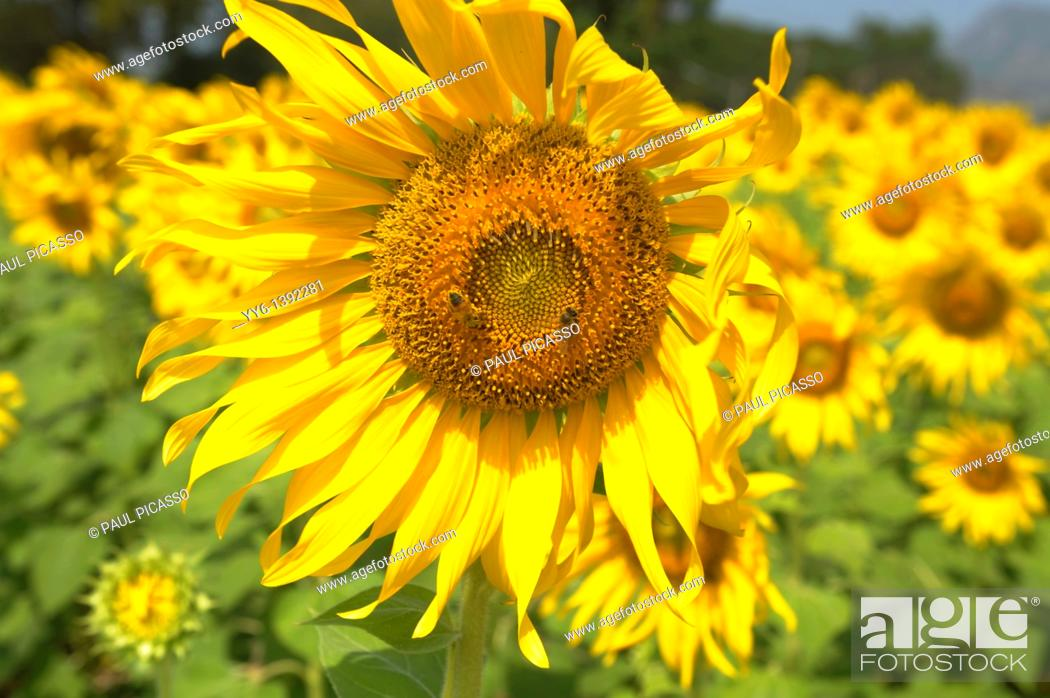 Stock Photo: sunflower field , sunflower fields of lopburi , central Thailand.