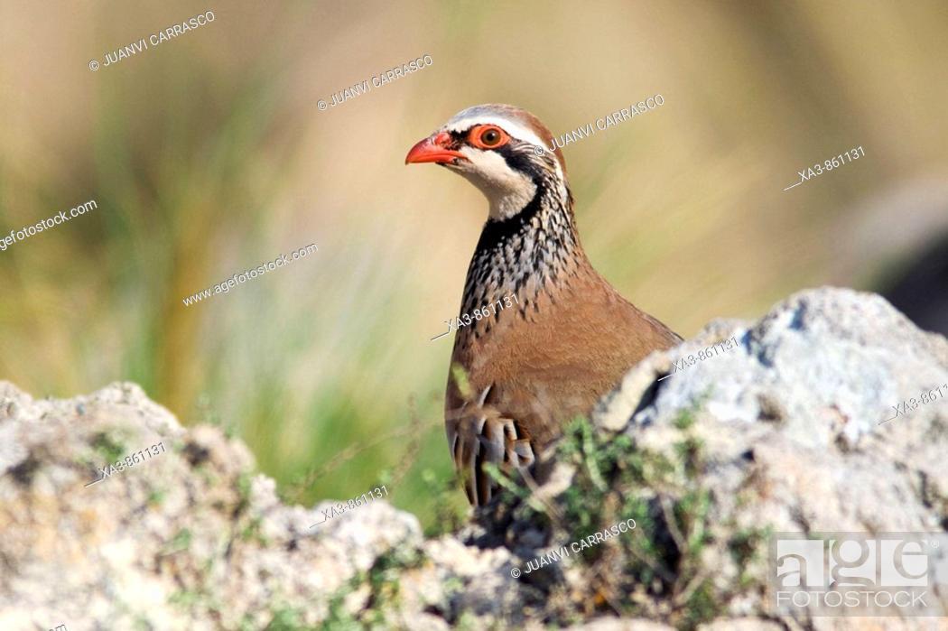 Stock Photo: Red-legged partridge, Alectoris rufa  Cabo de Gata-Nijar biosphere reserve, Andalusia, Spain.