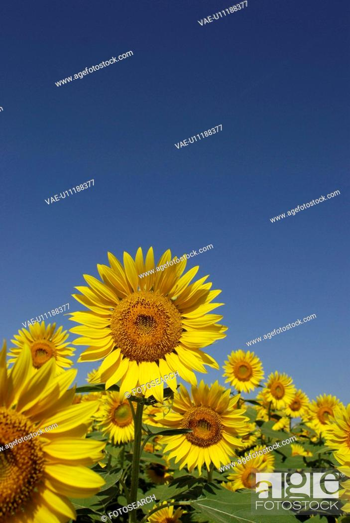 Stock Photo: Blue Sky And A Sunflower.