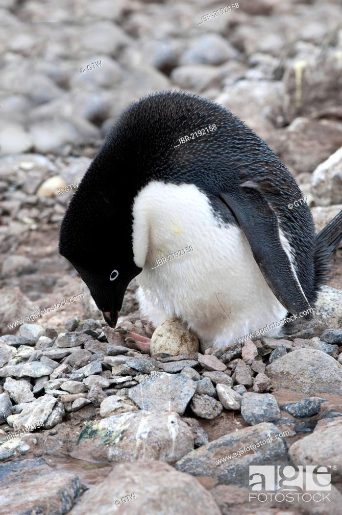 Stock Photo: Adelie penguin (Pygoscelis adeliae) incubating an egg, Paulet Island, Erebus and Terror Gulf, Antarctic Peninsula, Antarctica.