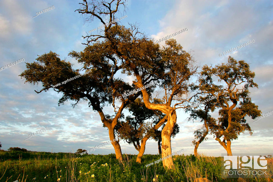 Photo de stock: Holm Oaks (Quercus rotundifolia). Sevilla, Andalusia , Spain.