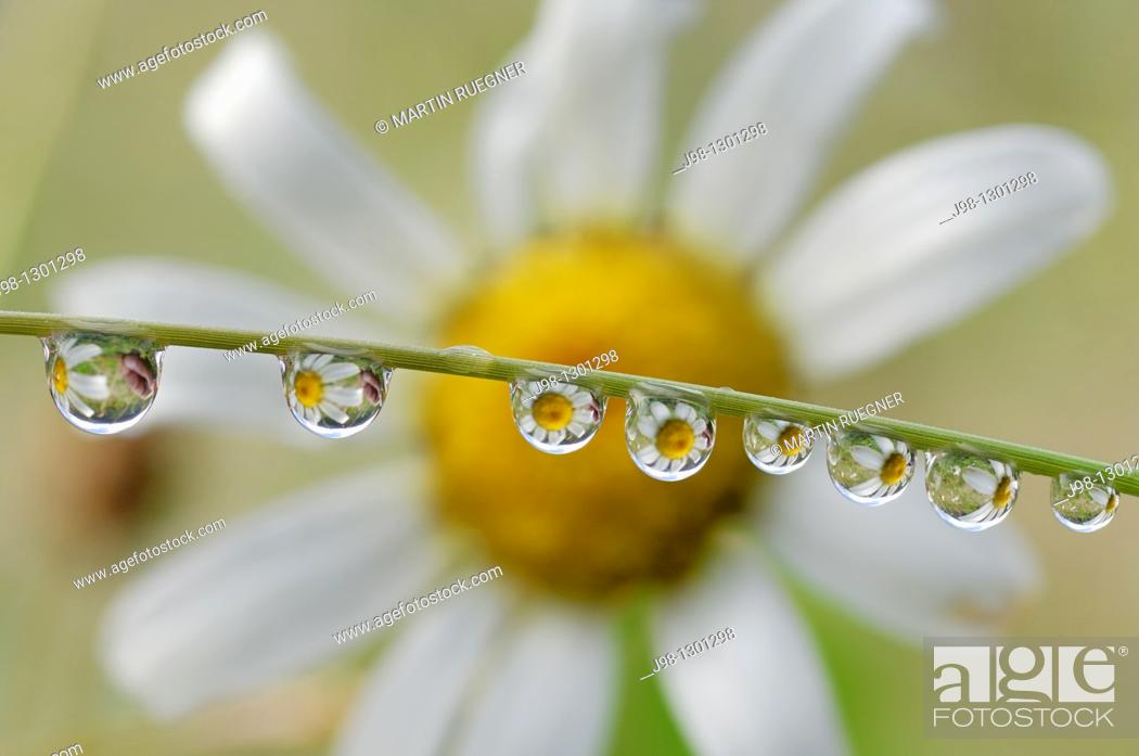 Stock Photo: Dewdrops with flower in background  Olympic National Park, Olympic Peninsula, Pacific Northwest, Washington State, USA, America.