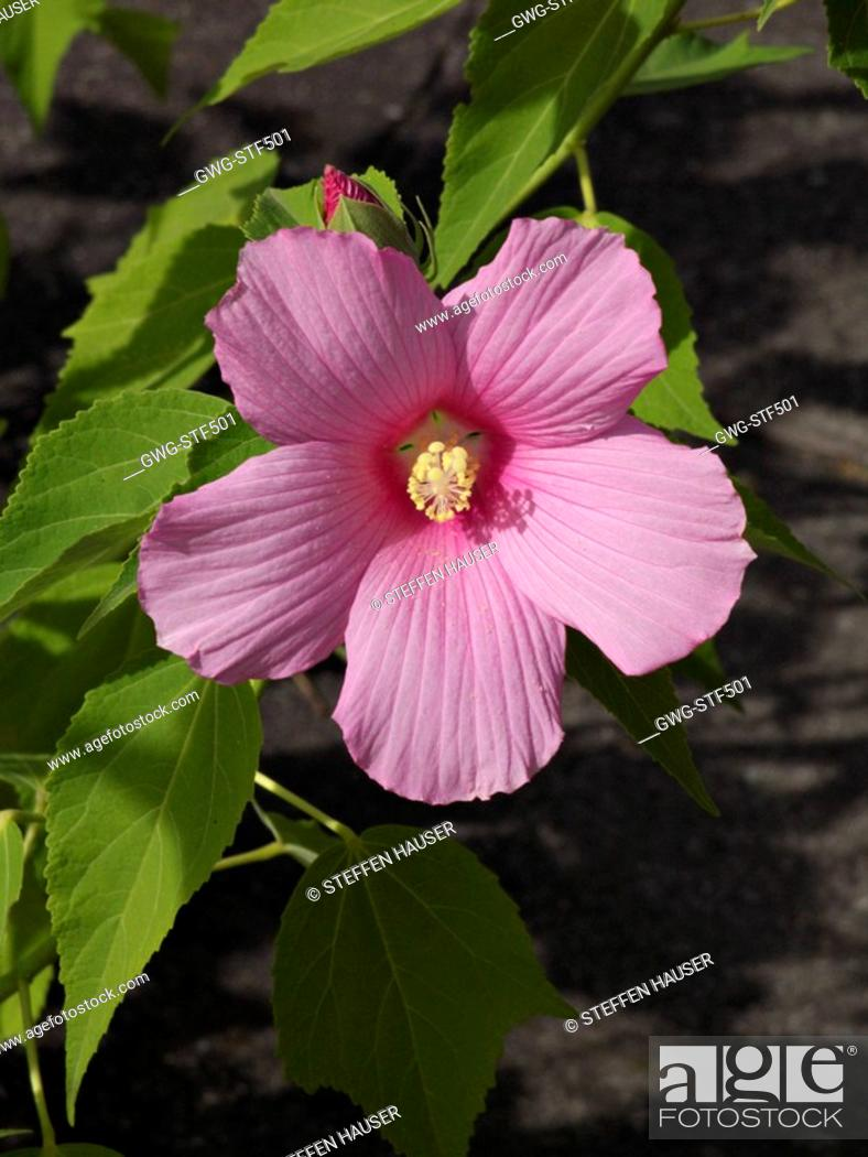 Hibiscus Moscheutos Swamp Rose Mallow Stock Photo Picture And
