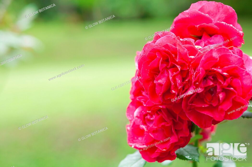 Stock Photo: Close-up of a Rose flower.