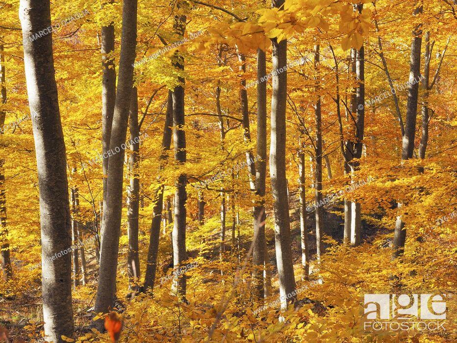 Stock Photo: Golden beech forest (Fagus sylvatica). Autumn at Jaca d'en Torra site. Montseny Natural Park. Barcelona province, Catalonia, Spain.