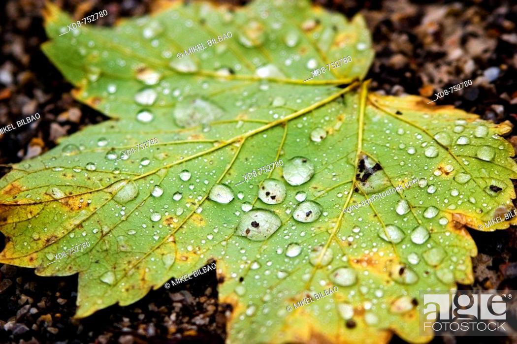 Stock Photo: Platanus leaf (Platanus x hispanica) in autumn.