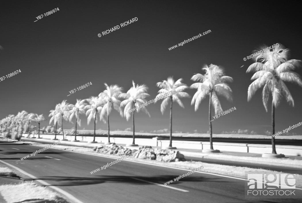 Stock Photo: Palm Trees in Infrared on the Malecon. Cienfuegos, Cuba.