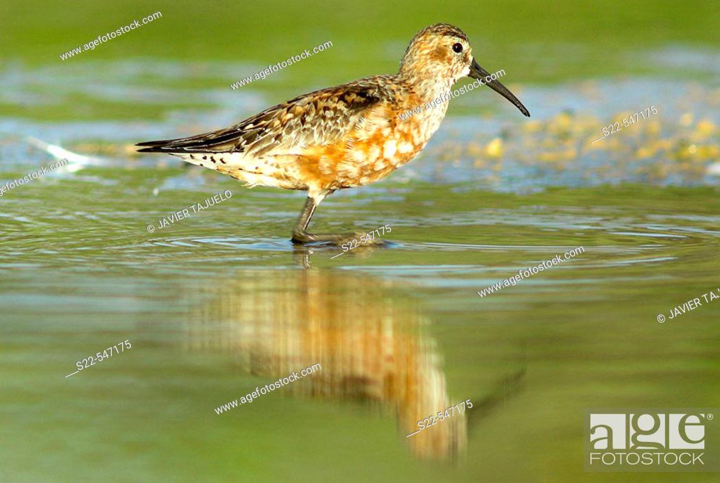 Stock Photo: Curlew Sandpiper, Calidris ferruginea, Marjal del Moro, Valencia, Comunidad Valenciana. Spain.