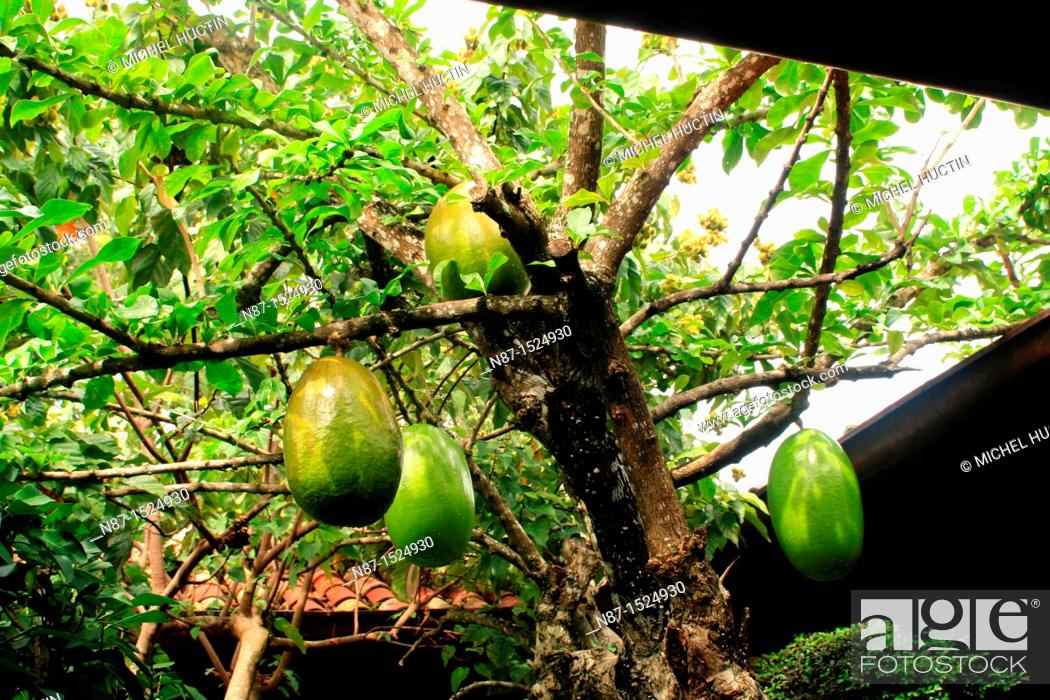 Stock Photo: calabash or small tree Crescentia cujete tropical family Bignoniaceae, whose fruit is used as a container under the name of gourd or cuia.