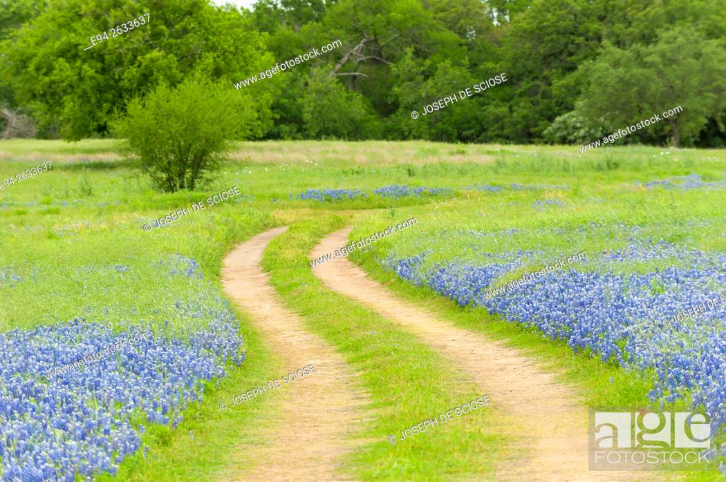 Stock Photo: Dirt road cutting through a field of bluebonnet wildflowers at the Muleshoe recreation area in Texas in the spring.
