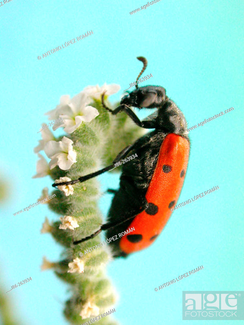 Stock Photo: Mixed Beetle (Mylabris quadripunctata).