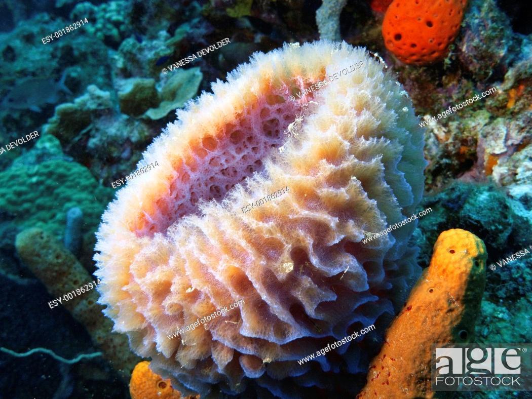 Stock Photo: Sponge in the Caribbean sea around Bonaire.