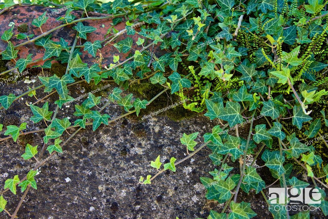 Stock Photo: Ivy over a wall. Haute Loire, France.