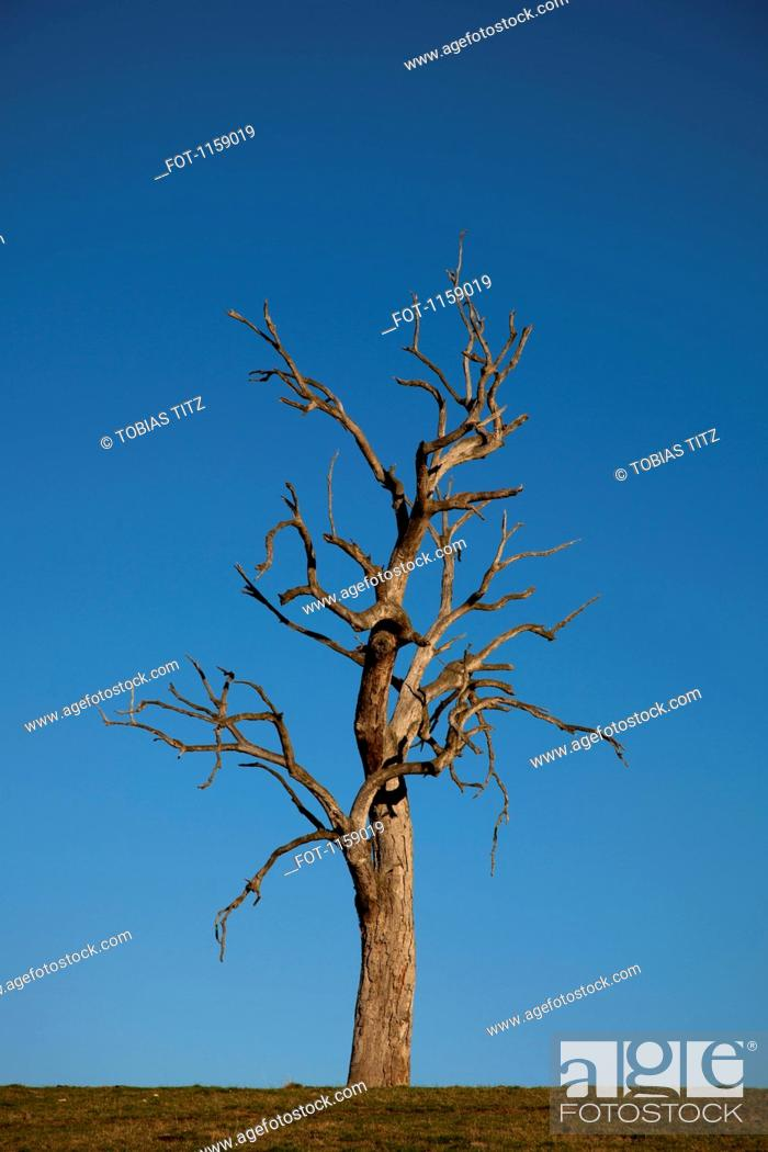 Stock Photo: Gum tree alone in field.