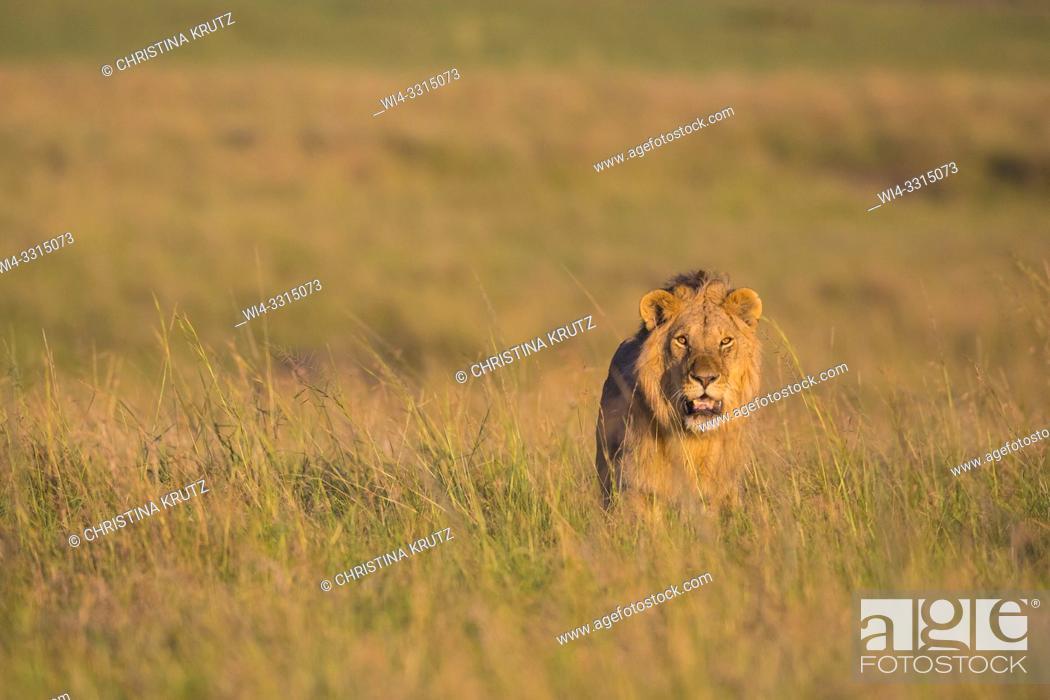Stock Photo: African Lion (Panthera leo), male walking in tall grass, Maasai Mara National Reserve, Kenya, Africa.