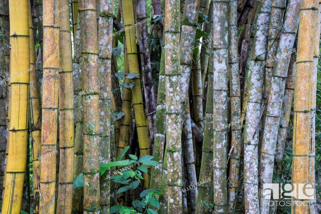 Stock Photo: Array of bamboo stem culms in Costa Rica.