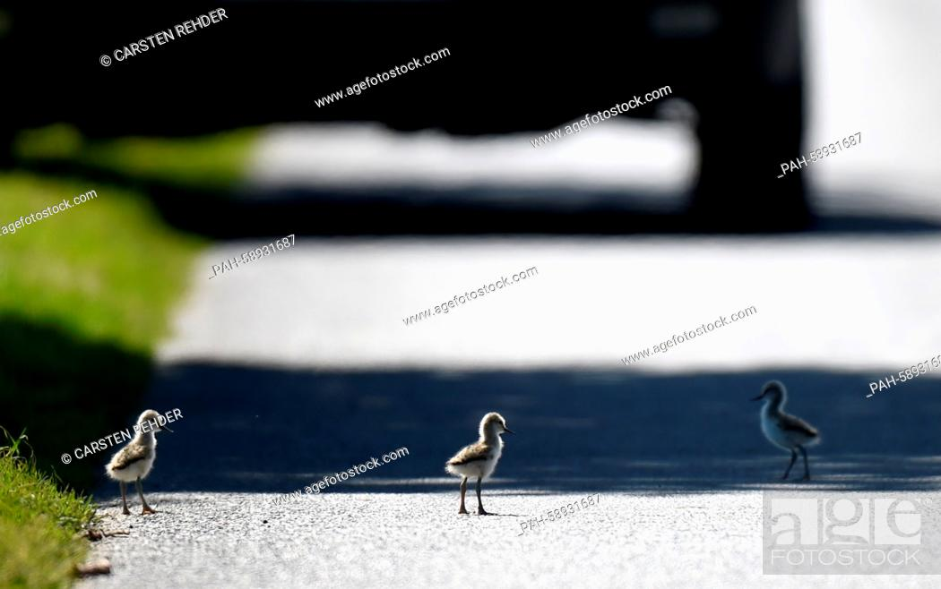 Stock Photo: Pied avocet chicks walk across a street near Trennewurth, Germany, 04 June 2015. The chicks had made them selves comfortable on the warm but dangerous pavement.