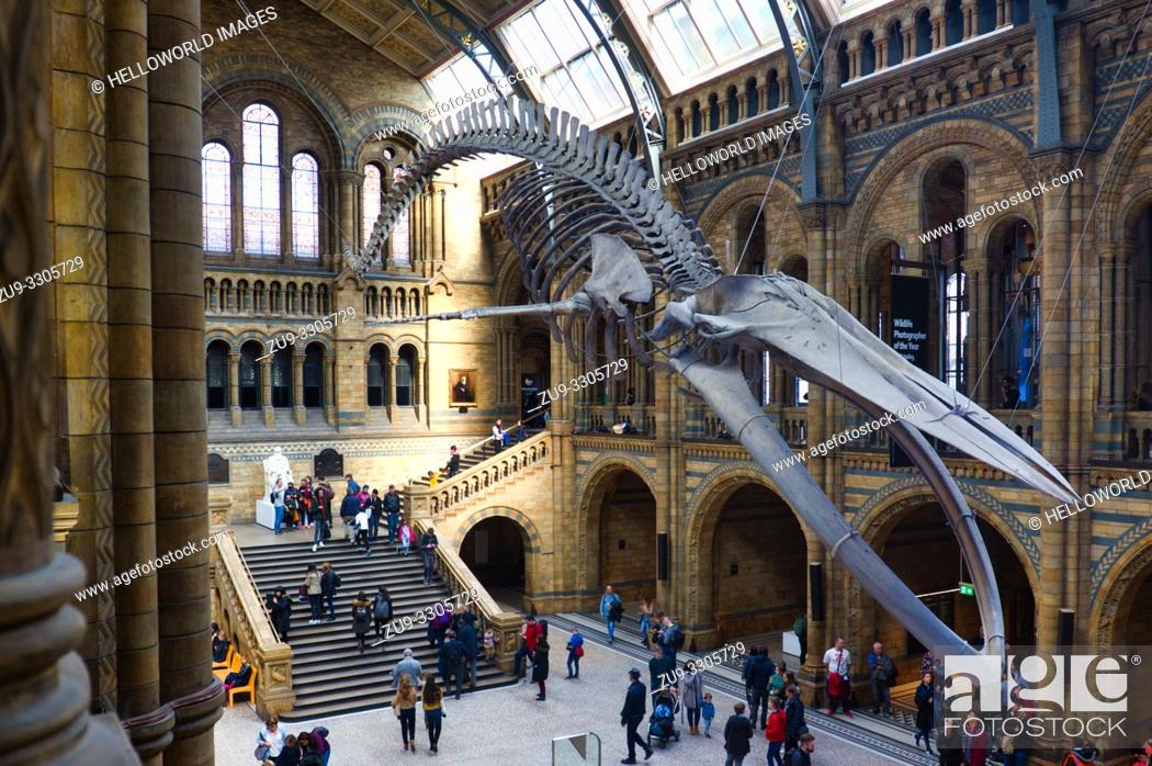 Stock Photo: Suspended blue whale skeleton, Hintze Hall, Natural History Museum, Kensington, London, England.