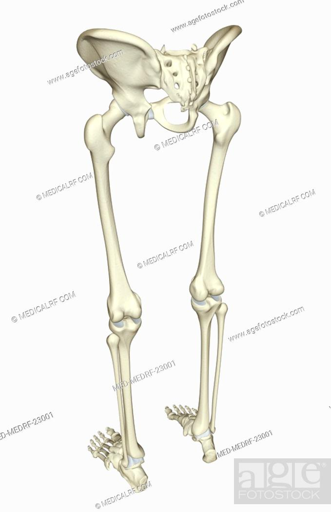 The Bones Of The Lower Body Stock Photo Picture And Royalty Free