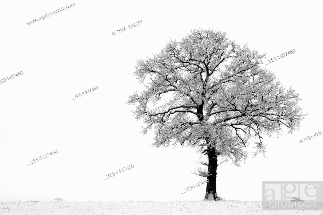 Stock Photo: English Oak tree Quercus robur in snow , England , UK.
