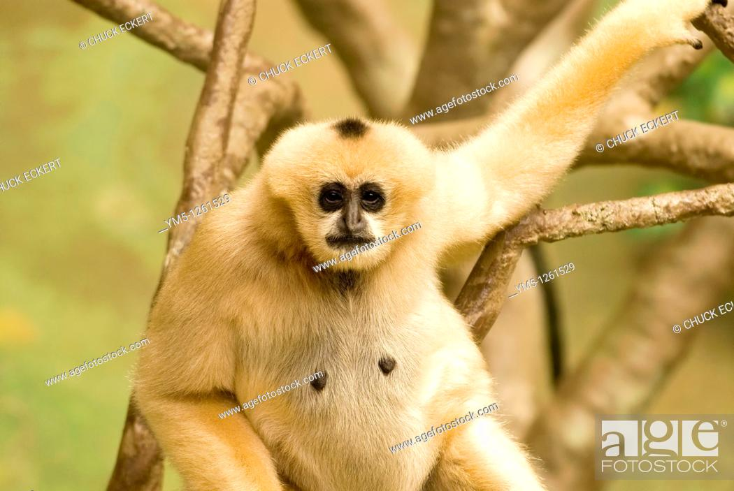 Stock Photo: Young White Cheeked Gibbon staring at camera  Born this beige color, they turn black by age one to one and a half  Nomascus leucogenys.
