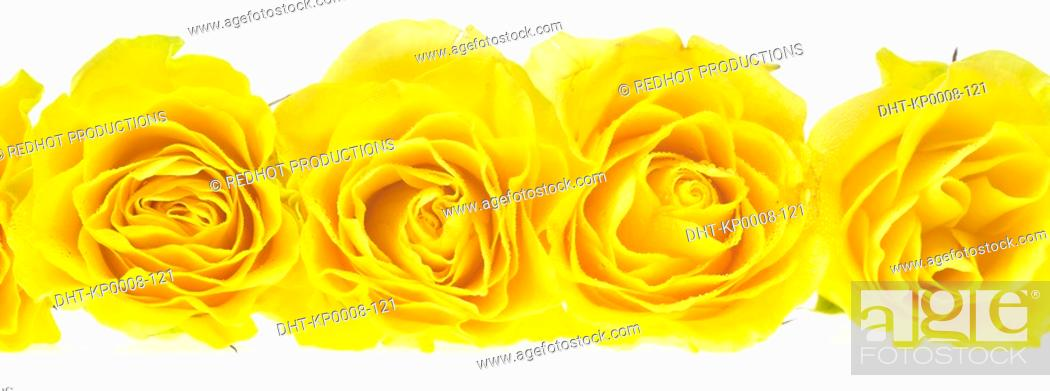 Stock Photo: Yellow Roses.