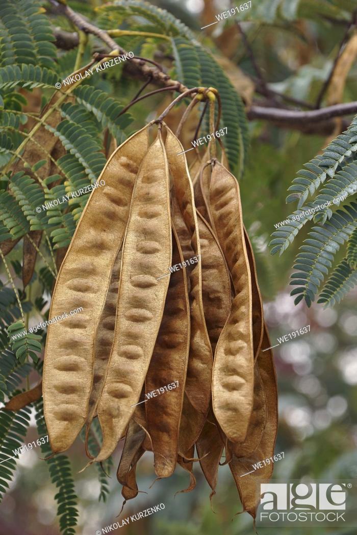 Imagen: Silktree (Albizia julibrissin). Called Mimosa, Persian Acacia, Persian Silk Tree, Pink Silk Tree, Lenkoran acacia and Bastard tamarind also.