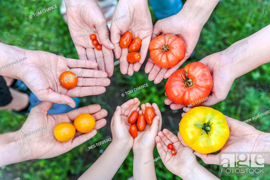 Stock Photo: Hands of five people holding various sorts of tomatoes.