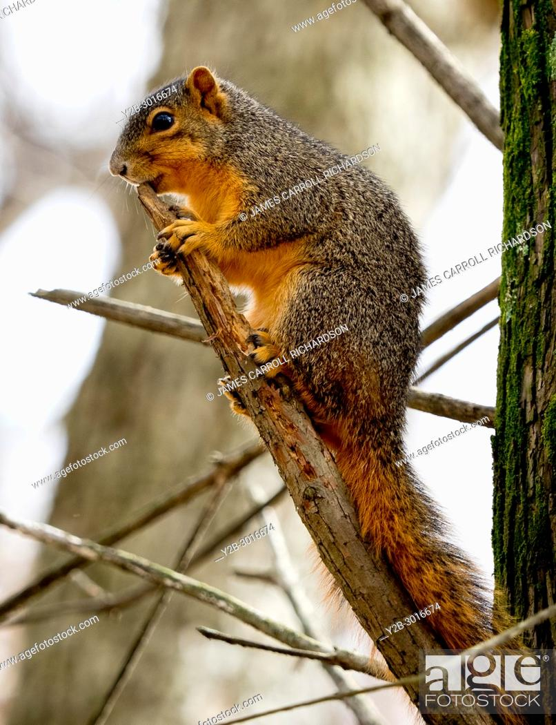 Imagen: Red squirrel in tree at Reelfoot Lake State PArk in Tennessee.