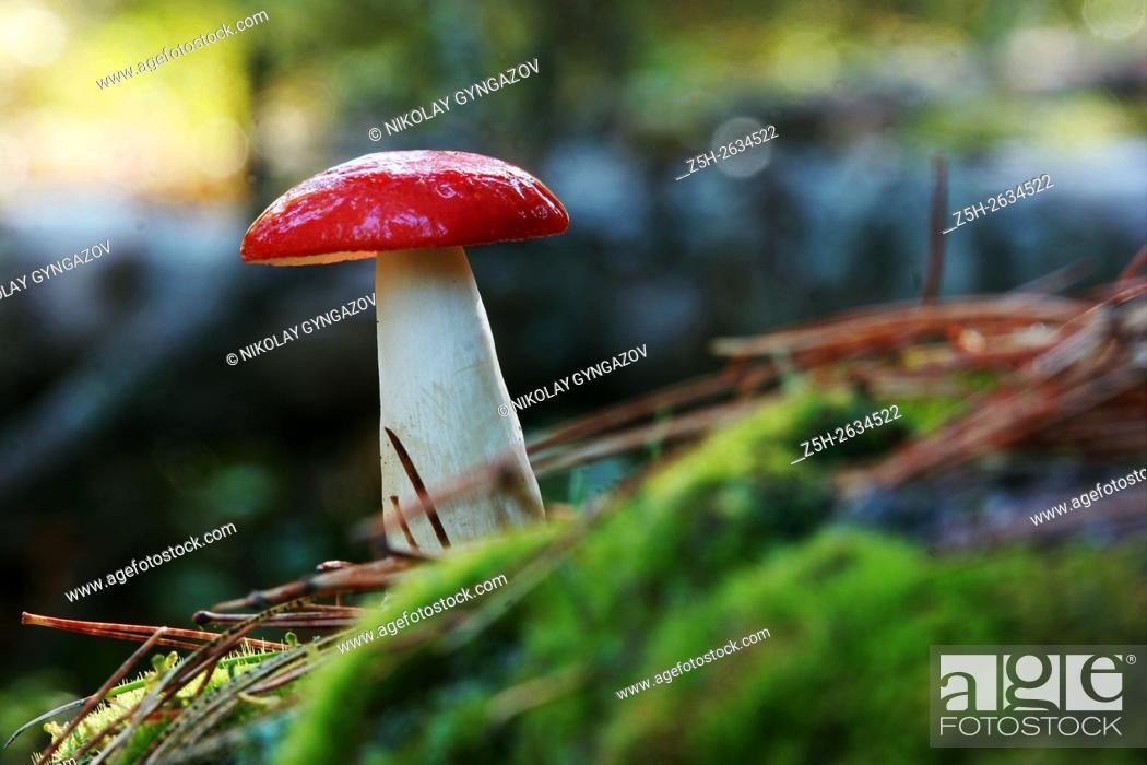 Stock Photo: Mushrooms of Western Siberia.