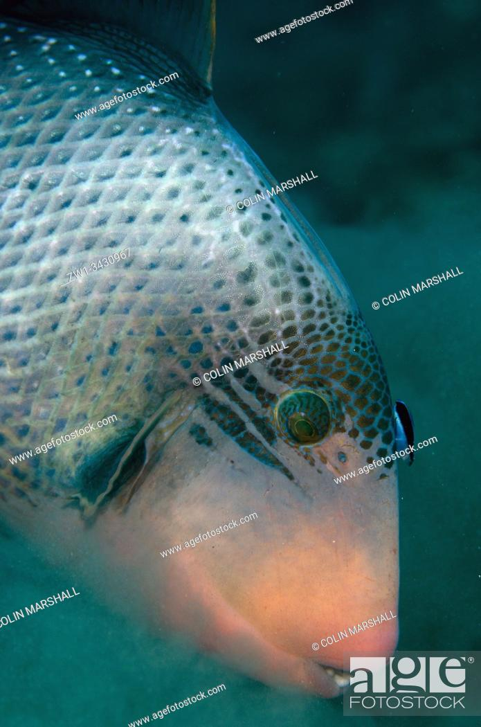 Stock Photo: Yellowmargin Triggerfish (Pseudobalistes flavimarginatus, Balistidae Family) being cleaned by a Bluestreak Cleaner Wrasse (Labroides dimidiatus.